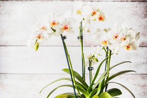 White red orchid in flowers pot