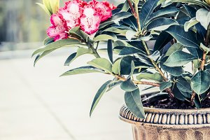 Rhododendron blooming in urn planter