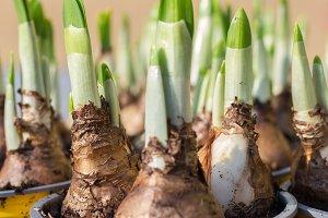 Narcissus root balls