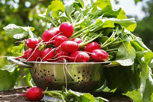 Fresh radishes two with tops on a wooden stump sunny day