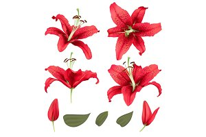 vector realistic lily flower blossom set