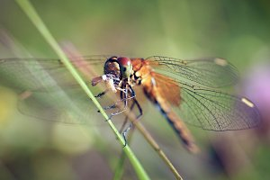 Beautiful dragonfly