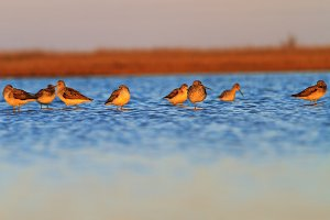 migratory flock of birds in the spring evening stands in the water