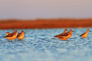 waders roam in shallow water at dusk
