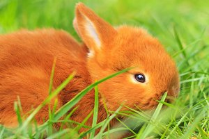 beautiful fluffy red rabbit in green grass