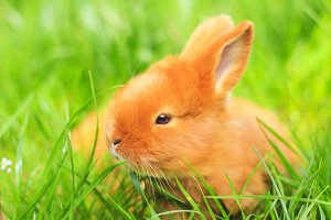 beautiful fluffy red rabbit in the spring green grass