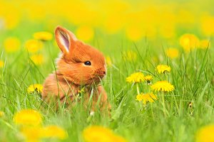 Cute red rabbit sits among the yellow flowers