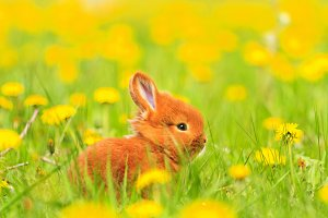 Easter red rabbit sits among the yellow flowers