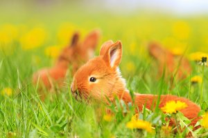red rabbits frolic in the spring grass