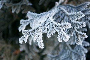 Crystalized Winter Pine