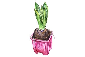 Watercolor hyacinth flower isolated