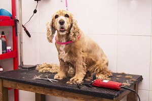 dog cocker spaniel in the dog hairdr