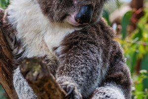 Portrait of cute koala
