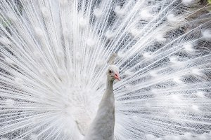 White peacock showing off his tail