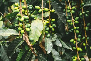 Cultivated local coffe plantage. Branch with green coffee beans and foliage. Santo Antao Island, Cape Verde.