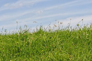 Tall green grass and a blue sky
