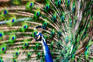 Peacock showing off his bright tail