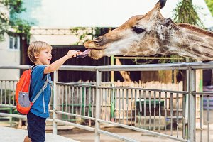 little kid boy watching and feeding giraffe in zoo. Happy kid having fun with animals safari park on warm summer day