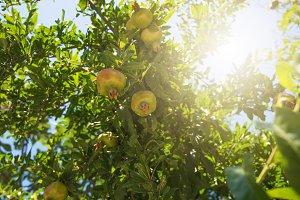 Green pomegranate on tree