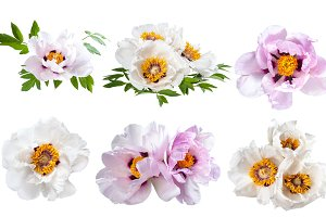 Peonies flower isolated