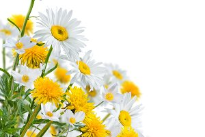 Chamomile and dandelion flowers