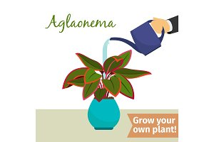 Hand watering aglaonema plant
