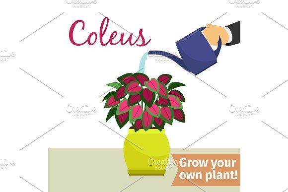 Hand Watering Coleus Plant