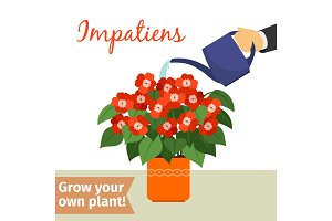 Hand watering impatiens plant