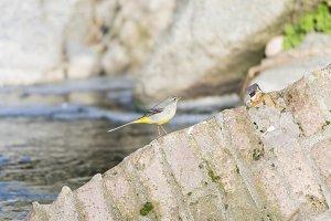 Motacilla cinerea, Grey wagtail