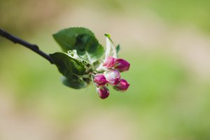 Apple tree flower on unfocused natur
