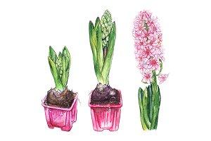Watercolor pink hyacinth flower set