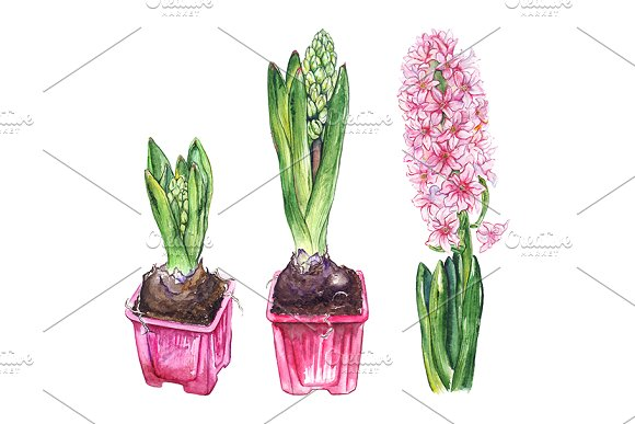 Watercolor Pink Hyacinth Flower Set
