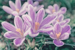 Glade Violet Crocus Flowers