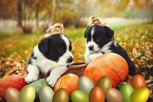puppies dogs and chicken posing with pumpkins and Easter eggs