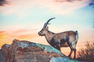 wild goat on top of a mountain