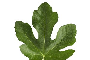 Fig leaf is isolated on the white