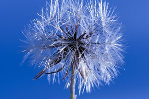Closeup of a wild Dandelion