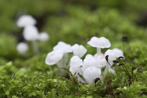 Delicatula integrella mushroom