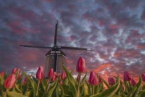 Tulip fields and windmill