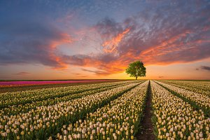 Tulip fields and tree
