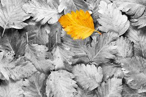 Yellow leaf on black&white leaves