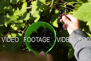 Little boy helping to gather black currant
