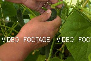 Harvesting fresh cucumbers