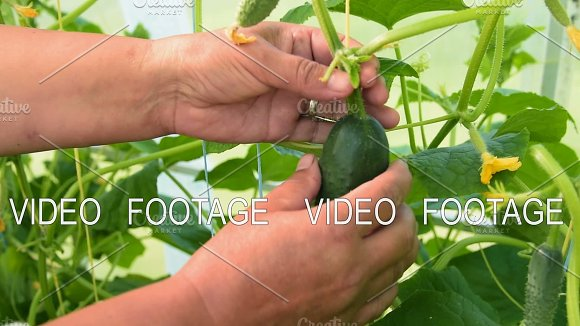 Picking Up Cucumber In Greenhouse