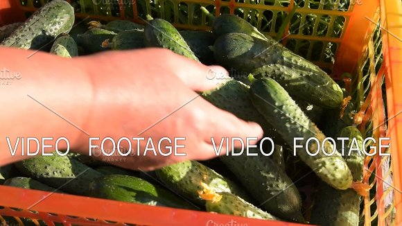 Rich Harvest Of Cucumbers