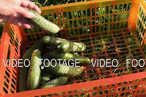 Cucumbers harvest on the farm