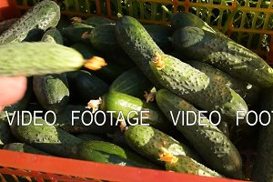 Rich harvest of cucumbers on the farm