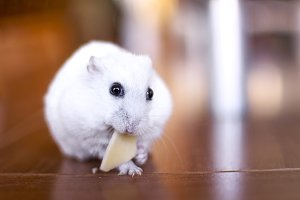 Little hamster eating a piece cheese
