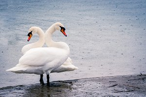 young white swans in the pond on a r