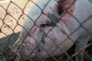 Pig at pig farm